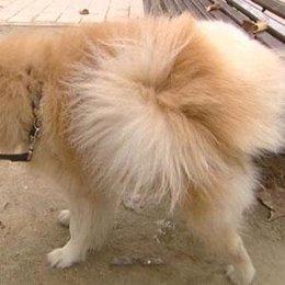 Un perro defecando