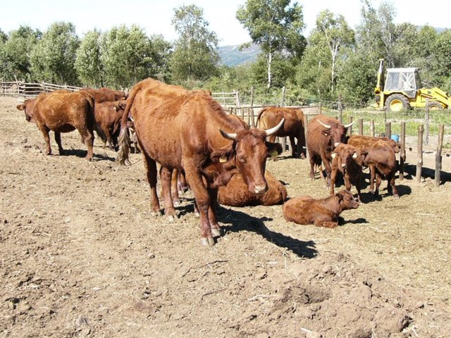 Vacas en una graja ourensana