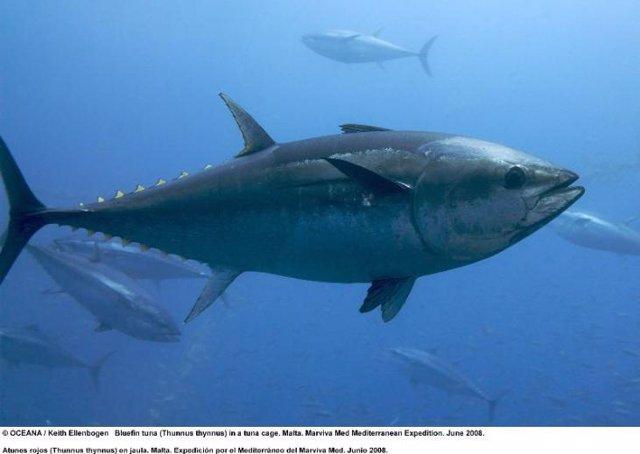 Ejemplar de atún rojo.