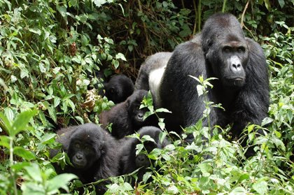 El censo de los gorilas de montaña revela un aumento del 26,3 por ciento en la población desde 2003