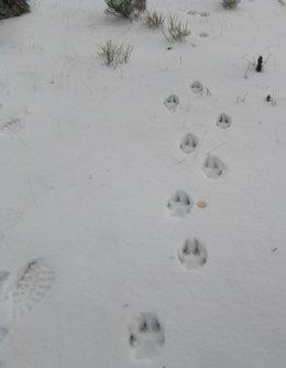 Nota De Prensa Sobre La Presencia De Lobo En La Sierra De Guadarrama