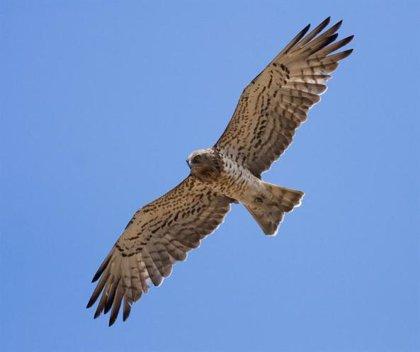 Representantes de las UE visitarán Monfragüe para valorar la conservación del águila imperial ibérica