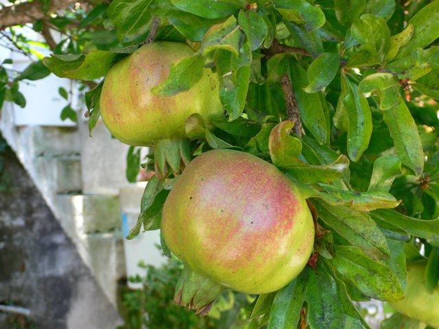 Granada, fruta