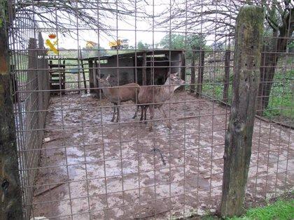 Denuncian al propietario de una granja por tenencia ilícita de 4 ciervos y 2 jabalíes, entre otros