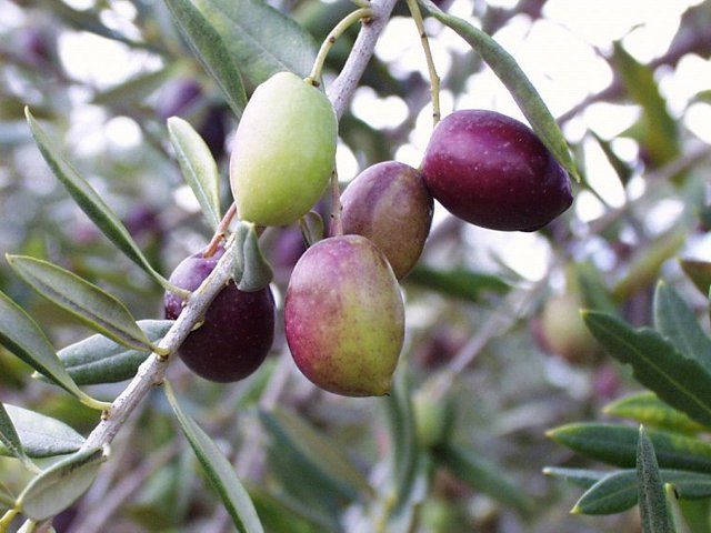 Aceitunas coloradas