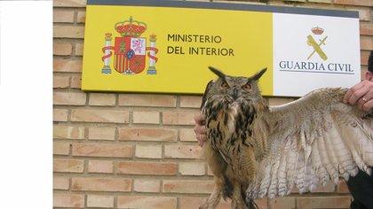 La Guardia Civil rescata en Los Palacios (Sevilla) un búho real que no podía volar al tener el ala partida