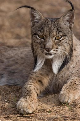 Lince