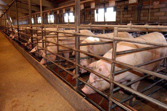 Granja de cerdos.