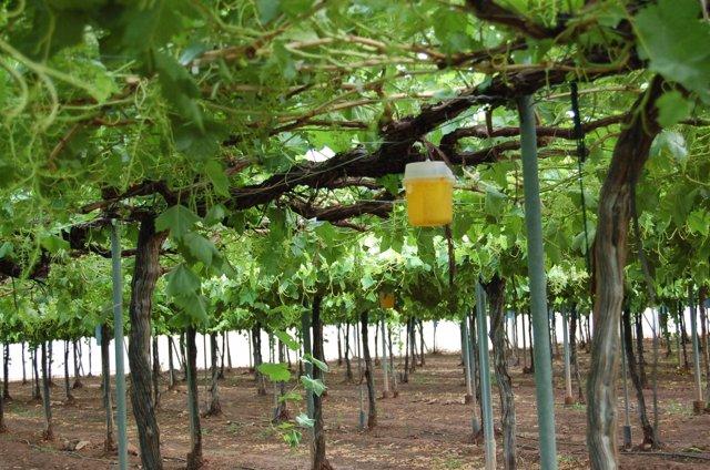 Agricultura investiga la obtenci n de variedades de uva de mesa resistentes a los hongos oidio y - Variedades de uva de mesa ...