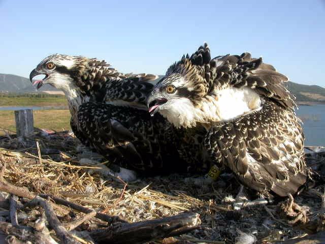 Ejemplares de águilas pescadoras