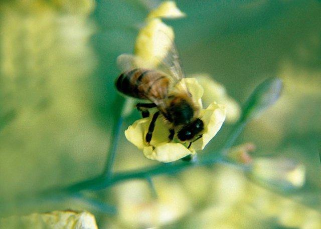 abeja polen polinización