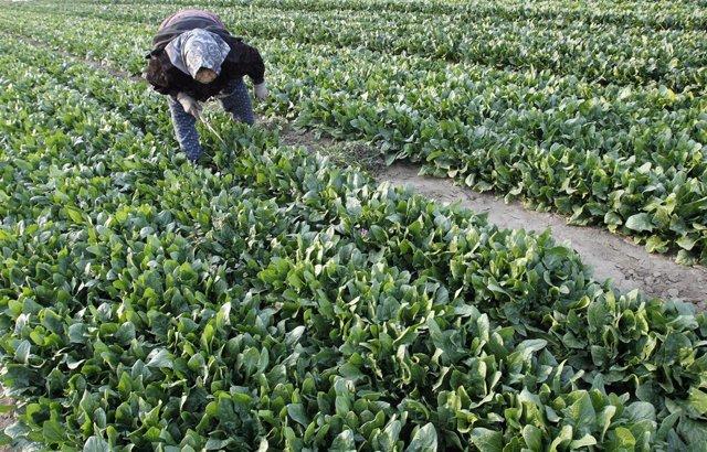 Granjero japonés cultivando espinacas