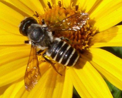 Logran revertir el proceso de envejecimiento cerebral en las abejas