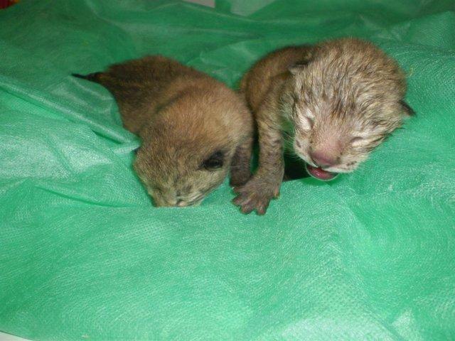 Cachorros De Lince Nacidos En El Zoobotánico De Jerez