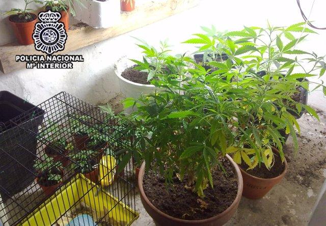 Planta De Marihuana Requisada
