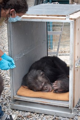 Chimpacé Liberado Por La Fundación Mona Y Faada