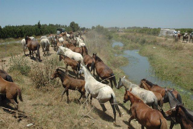 Saca De Las Yeguas En Almonte.