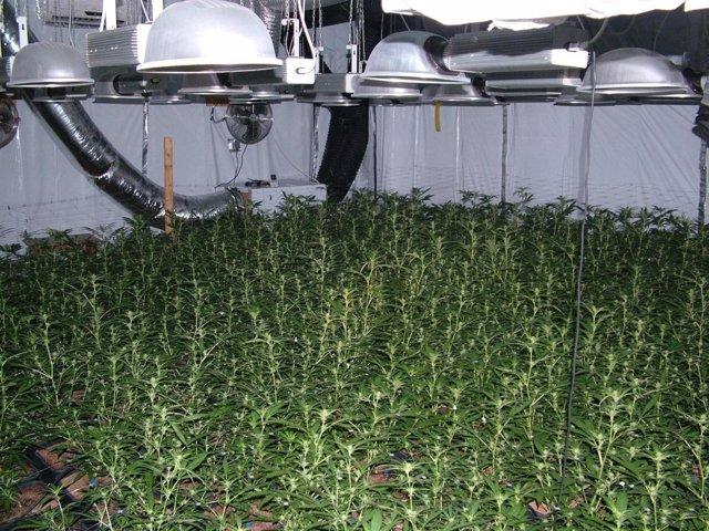 Plantas Marihuana Operación Triplete II