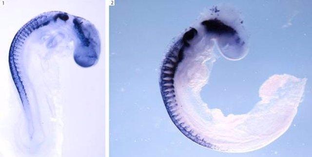 Dos Embriones De Pollo Durante El Desarrollo Embrionario. En Morado Destacan Las