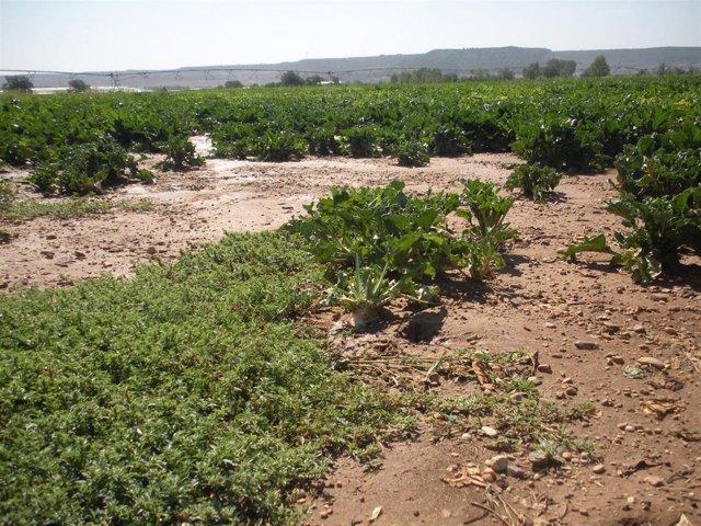 Daños Que Han Ocasionado Los Conejos En Un Campo De Remolacha De Cabezón De Pis