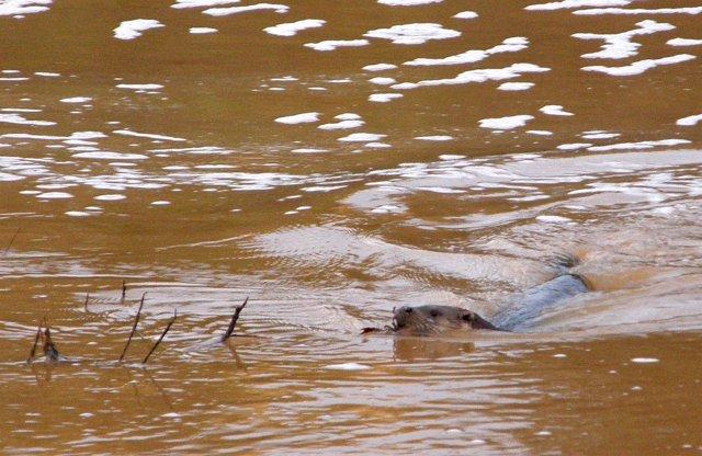 Ejemplar de nutria en el río Jándula, Jaén