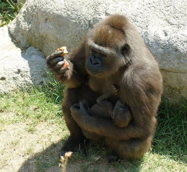Gorila Y Su Cria Zoo De Madrid