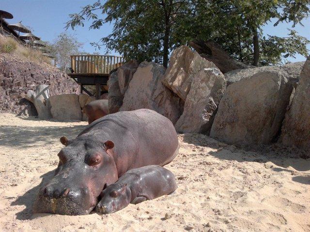 Cria De Hipopótamo
