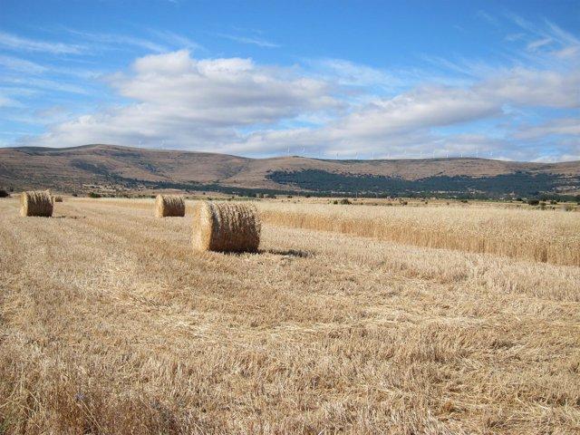 Campo, Cultivo, Cosecha, Cereales