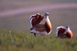 Avurtaras Son Aves Protegidas Por Las Políticas De Diversidad Biológica De La UE