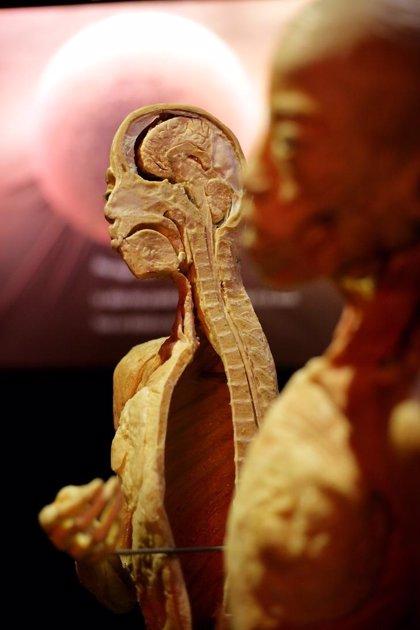 Aragón.- Una exposición promueve los hábitos saludables a través de una muestra de órganos y cuerpos