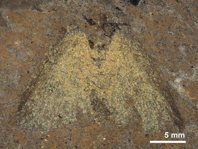Polillas Fósiles