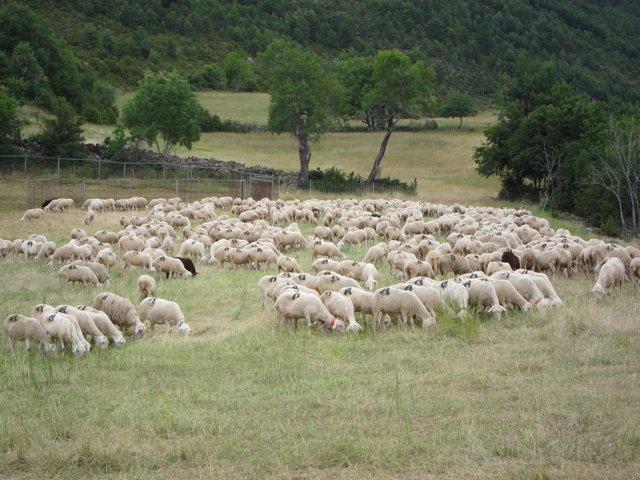 Rebaño De Ovejas En El Pirineo