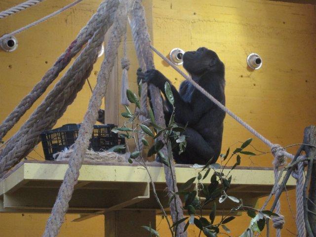 Gorila Nueva En Cabárceno