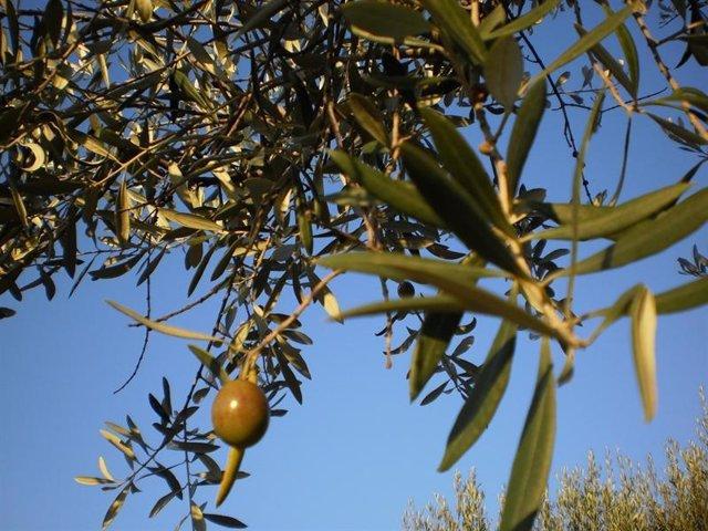 Ramas de olivo, aceitunas