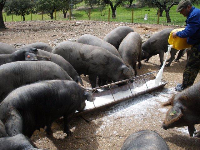 Cerdos comen en una finca de la provincia de Huelva