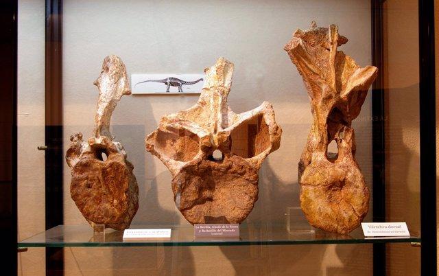 Vértebras De Demandasaurus Expuestas En El Museo De Salas
