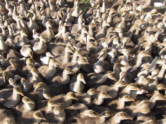 Polluelos De Pato Y Oca, Patos Y Ocas, Explotación Avícola
