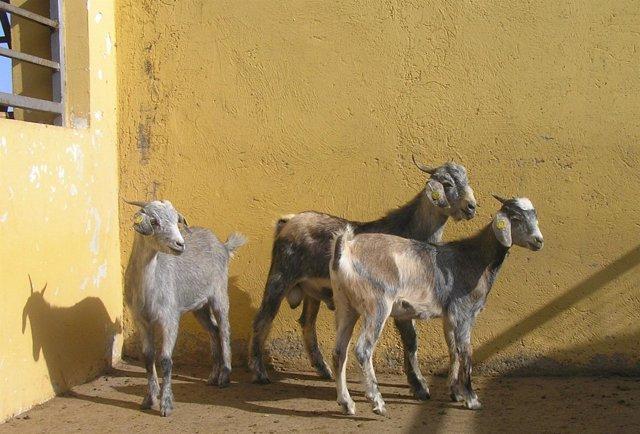 Cabras De Fuerteventura