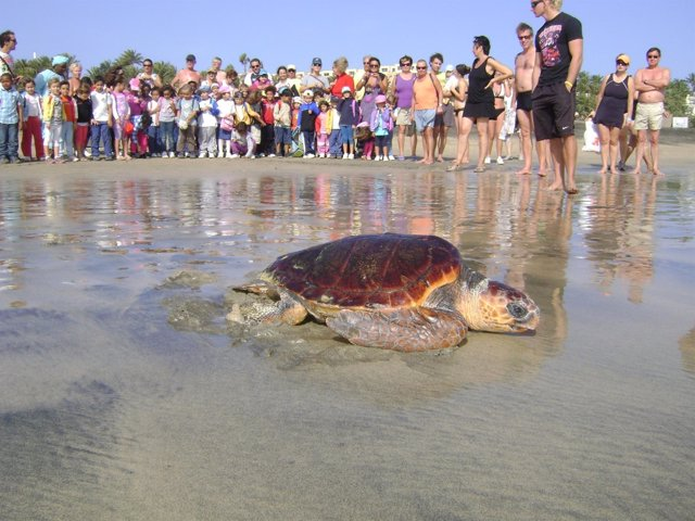 Suelta De Tortugas 'boba' En Fuerteventura