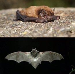 Murciélagos Hallados En Collserola. Murciélago