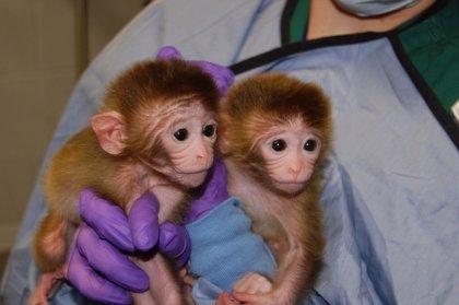 Nacen los primeros monos quiméricos