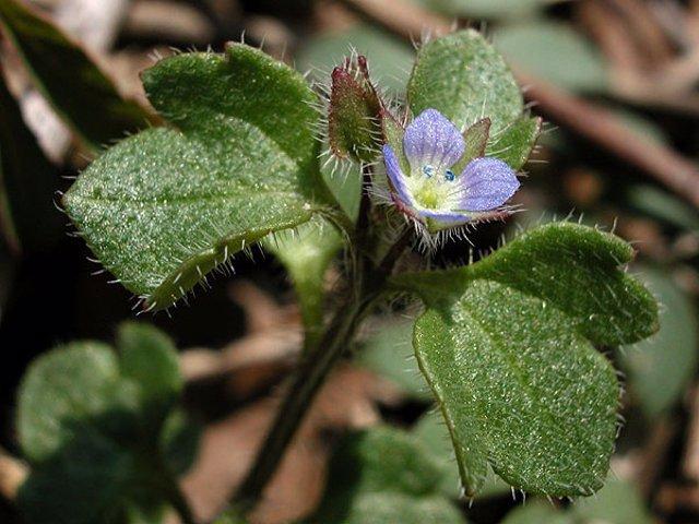 Veronica Hederifolia (Hierba Gallinera) . Se Trata De Una Mala Hierba Común Que