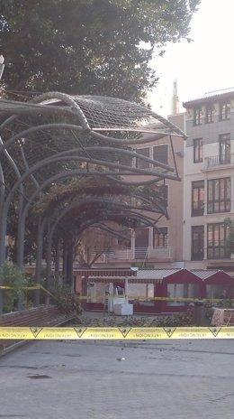 Ficus Santo Domingo
