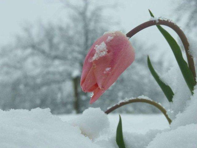 Flor Helada, Con Nieve, Frío, Hielo.