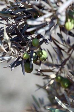 Imagen de un olivar andaluz