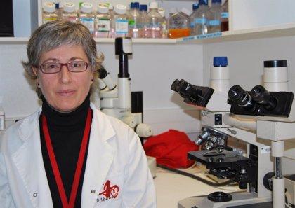 Investigadores españoles dan un paso más para trasplantar células de cerdo para regenerar cartílago humano