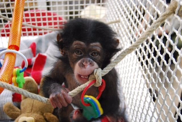 Juma, Una Cría De Chimpancé Del Zoo De Barcelona Adaptada Al Grupo