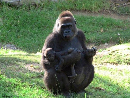 El genoma del gorila es más humano de lo que se pensaba