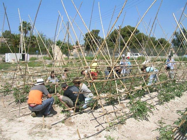 Operarios recogiendo tomates en Muchamiel