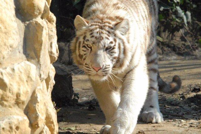 Tigresa Blanca De Asia En El Zoo De Santillana Del Mar